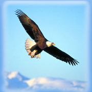 Eagle soaring through sky